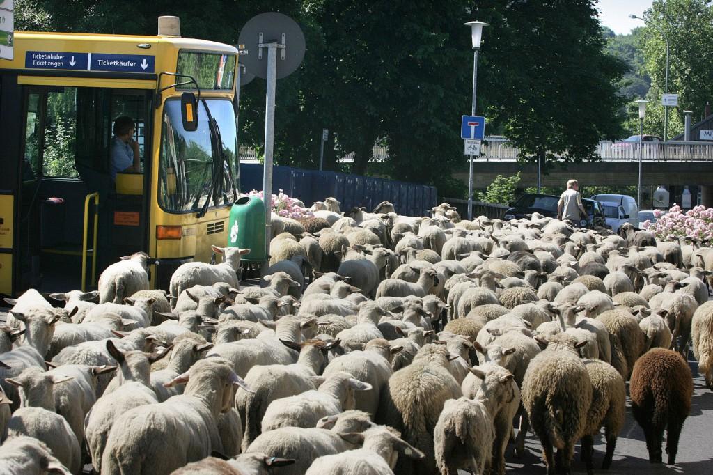 Nicht immer sind die Autos schuld, wenn der Bus unpünktlich ist. Hier sind es 500 Schafe, die jeden Sommer von Werden nach Kettwig ziehen.